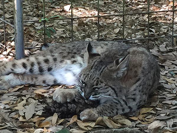 LittleWhiteDove-bobcat