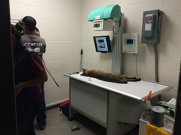 Bailey Bobcat goes in to see Dr. Justin Boorstein