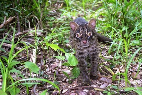 Iriomote Cat Facts