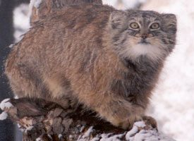 Pallas Cat Facts