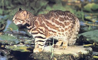Pampas Cat Facts