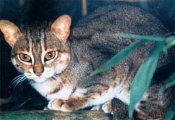 Rusty Spotted Cat Facts
