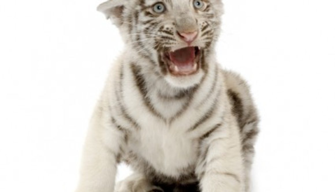 White Tiger cub crying for his mother