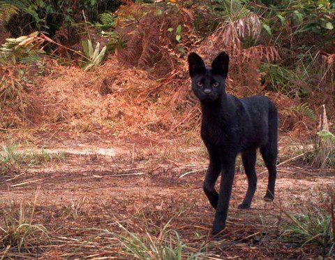 Black Serval Melanistic Serval