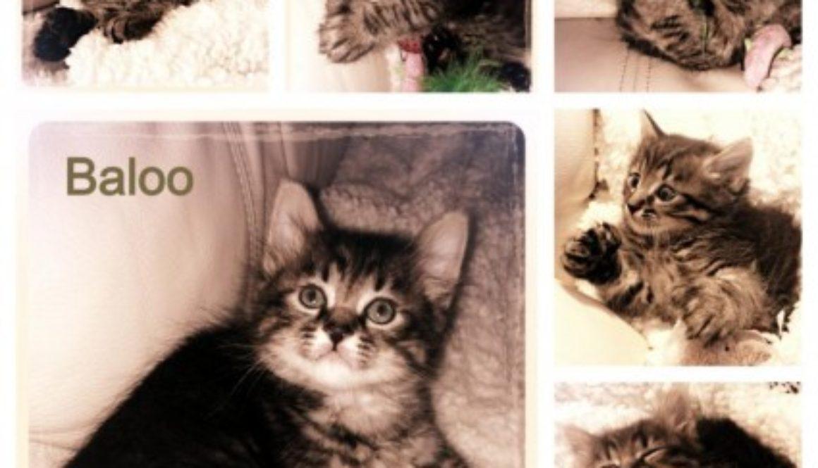Kitten-Baloo