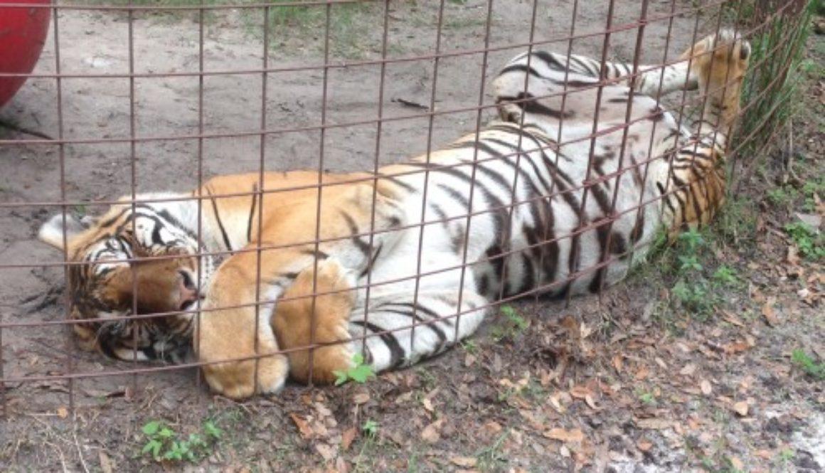 SARMOTI-tiger-loves-Caturday