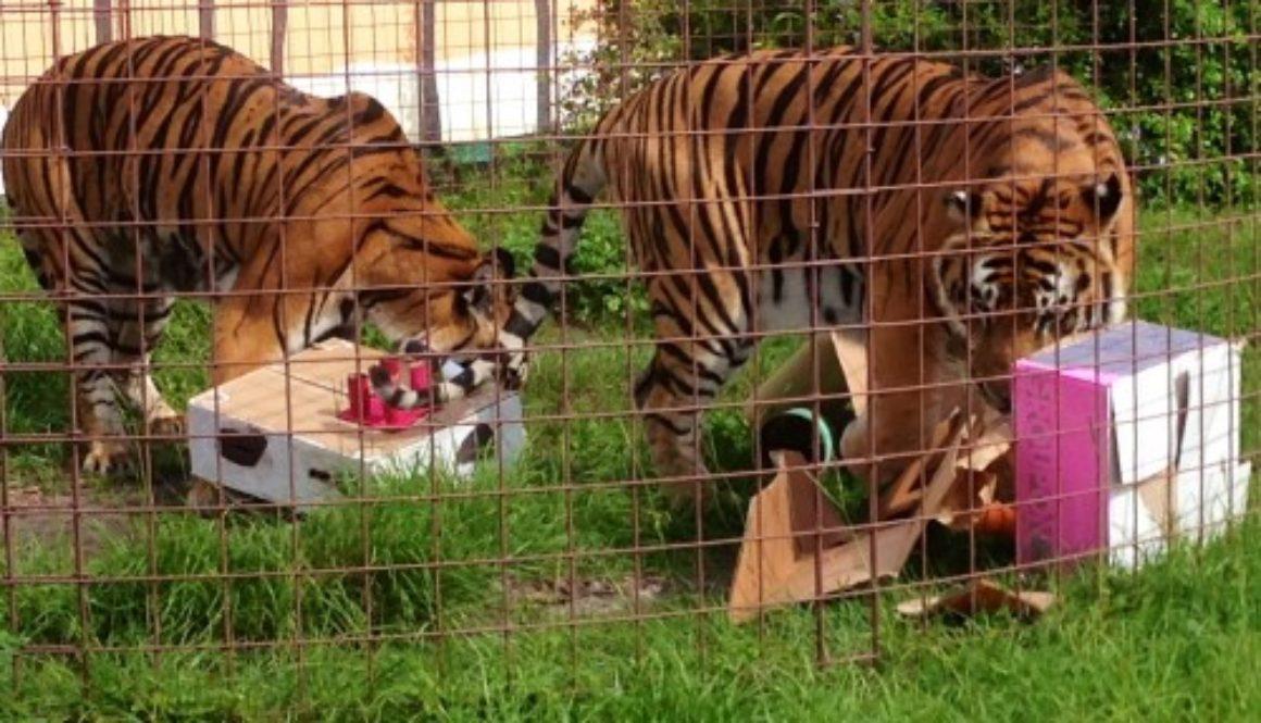 Summer-Camp-Tiger-Enrichment_2256