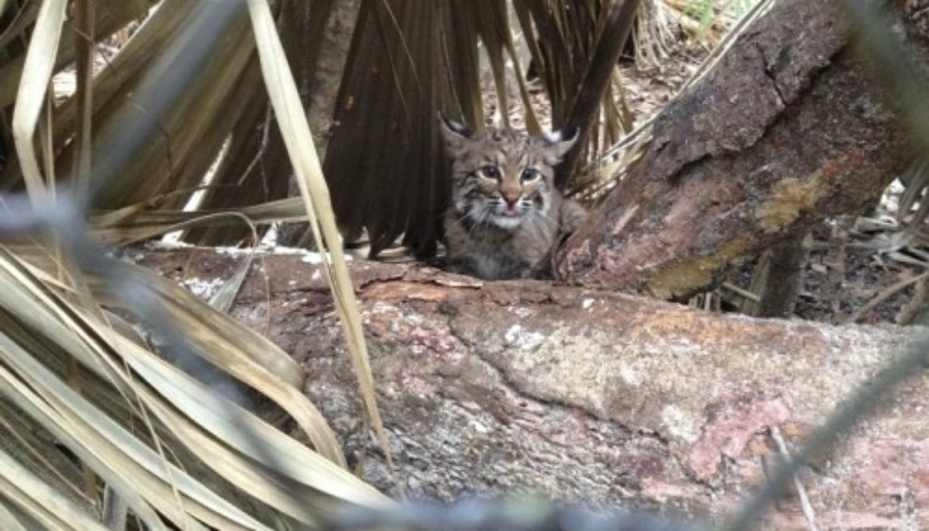 Khaleesi the rehab bobcat kitten goes outside