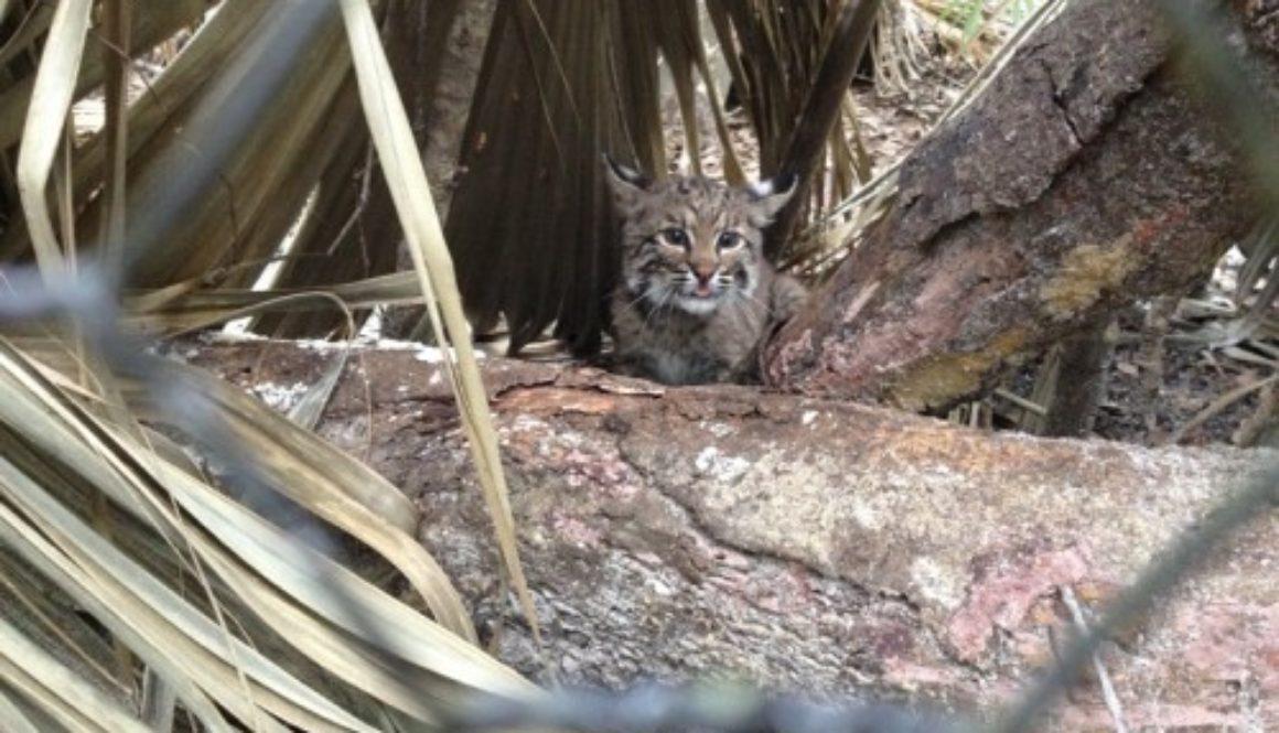 Khaleesi the rehab bobcat kitten goes outside