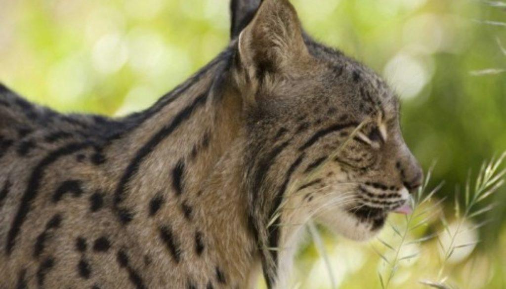 Iberian Lynx Facts