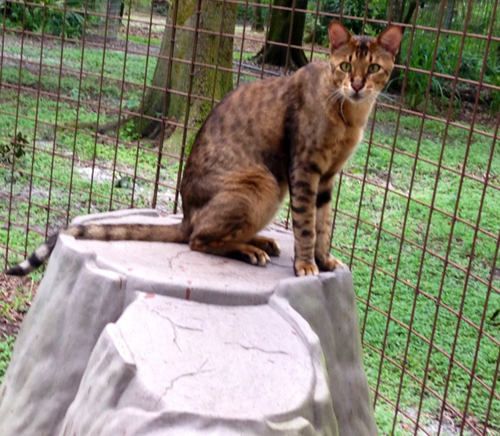 Savannah Cats and Bengal Cats Make Bad Pets | Big Cat Rescue
