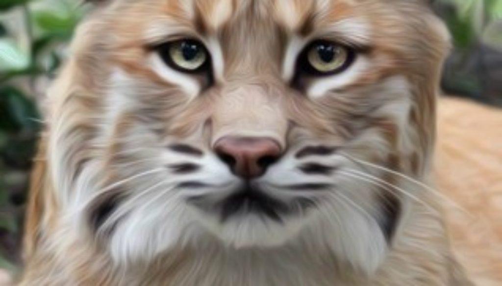 Thurston the bobcat oil painting