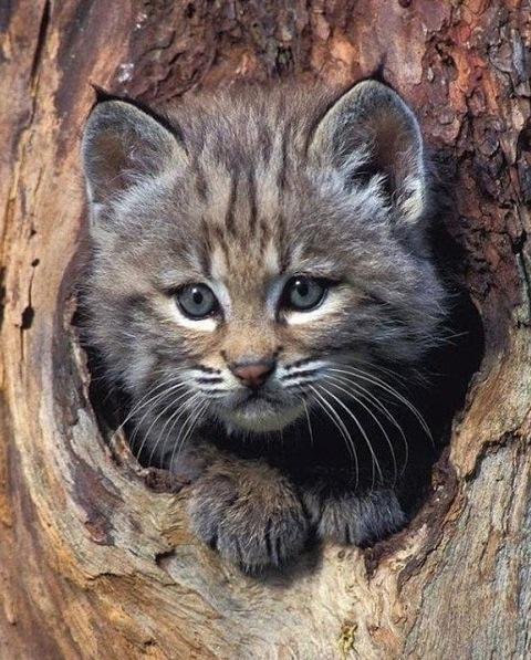 Bobcat-kitten-in-Tree