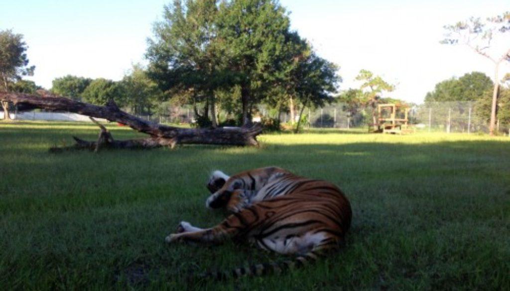 Flavio-Tiger-2013-08-03-08