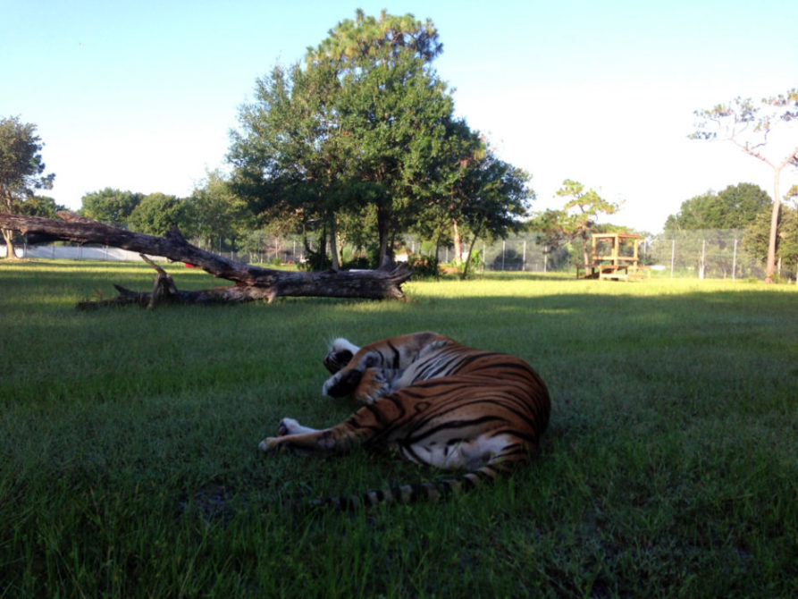 Today at Big Cat Rescue Aug 3 2013 Flavio Tiger Goes Free