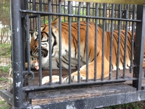 Flavio-Tiger-Circus-Cage-1
