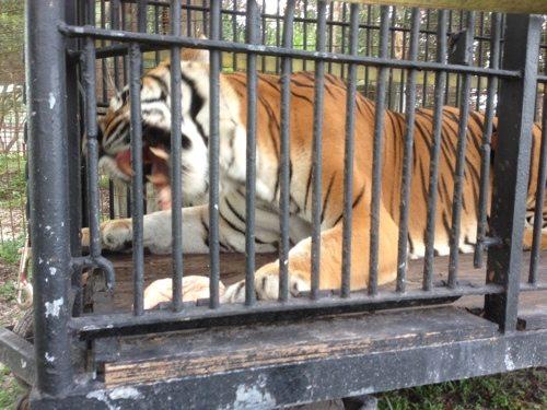 Flavio-Tiger-Circus-Cage-2