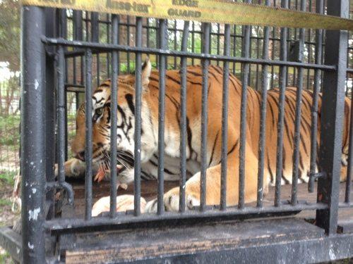 Flavio-Tiger-Circus-Cage-3