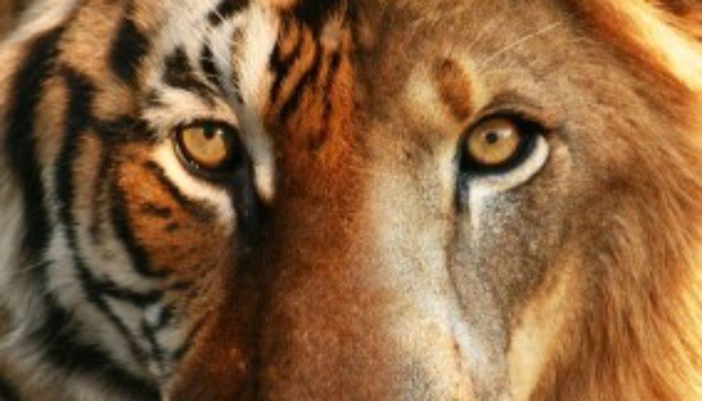 Liger lion vs tiger