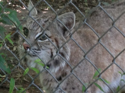 Today at Big Cat Rescue Aug 11 2013