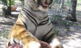 Silly Tiger With Ball