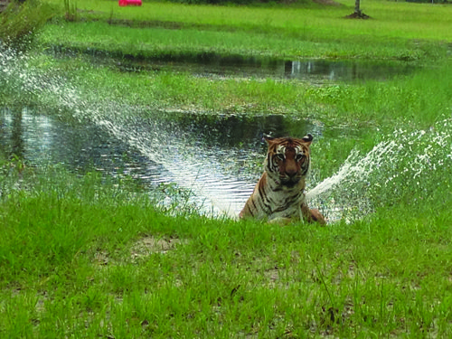 Tiger Playing in the Pond
