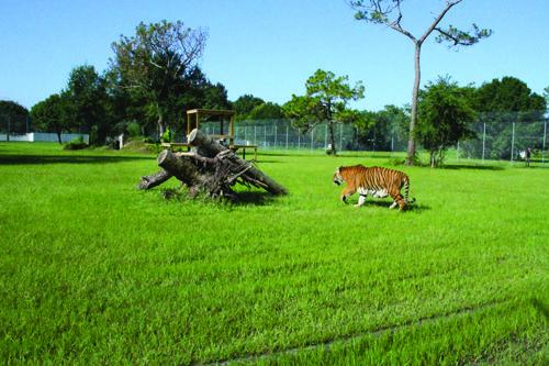 Tiger Playing in the big yard