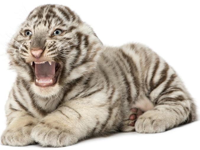 Big Cat Rescue Bengal Tiger