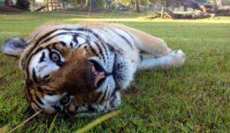 Alex el Tigre