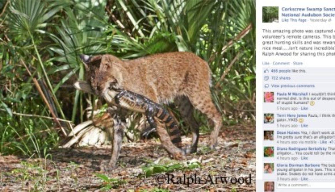 Bobcat-Eating-Alligator