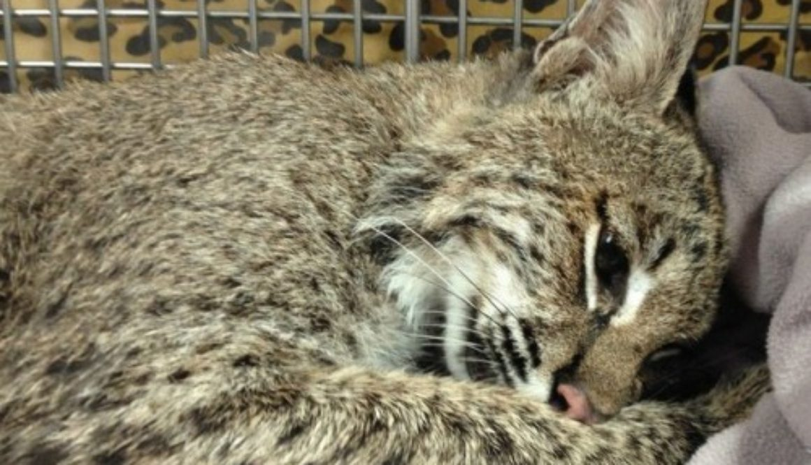 Bobcat Rescued From Fence