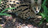 Ginger-Serval-2014-09-21-14.44.41