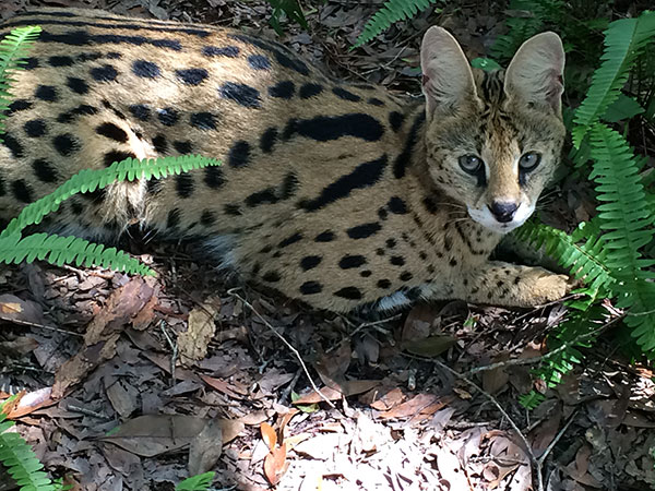Ginger-Serval