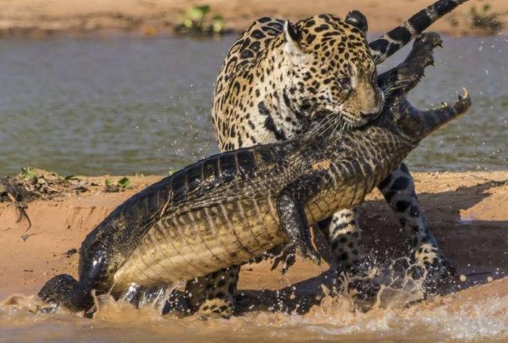 Jaguar Big Cat Rescue