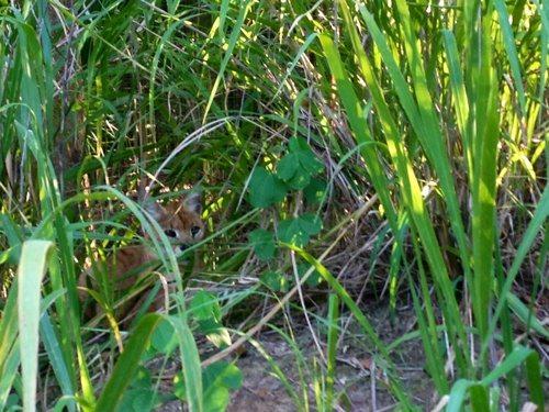 JoJo hybrid Grass Hide
