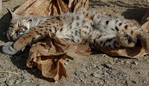 Lynda-Sugasa-Wildlife-Haven-Bobcat-Bag