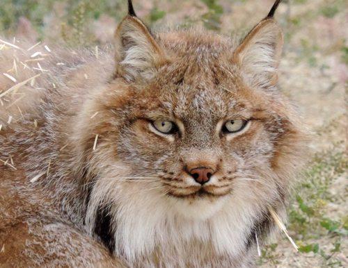 Lynda-Sugasa-Wildlife-Haven-Canada-Lynx-Monkey