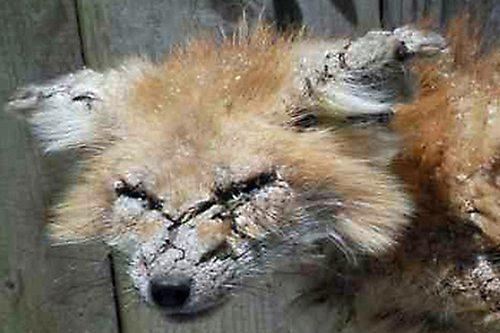 Lynda-Sugasa-Wildlife-Haven-Cheyenne1-Mange