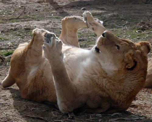 Lynda-Sugasa-Wildlife-Haven-Lion-Toes