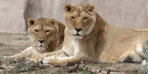 Lynda-Sugasa-Wildlife-Haven-Lions
