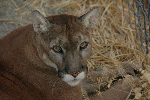 Lynda-Sugasa-Wildlife-Haven-Max-Cougar