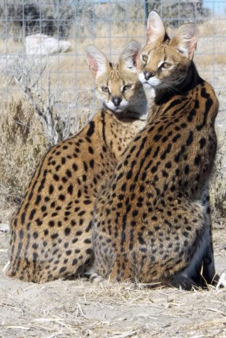 Lynda-Sugasa-Wildlife-Haven-Servals