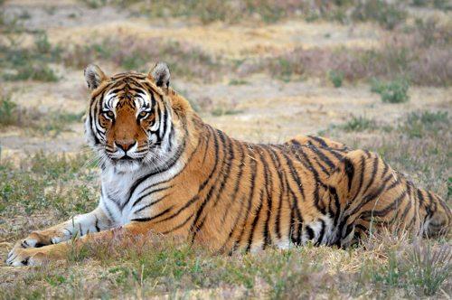 Lynda-Sugasa-Wildlife-Haven-Tiger-Gage