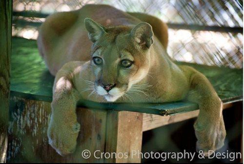 Nola cougar 2011