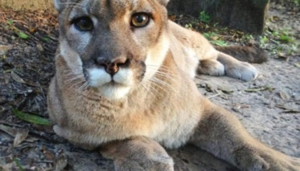 Reise the cougar at Big Cat Rescue