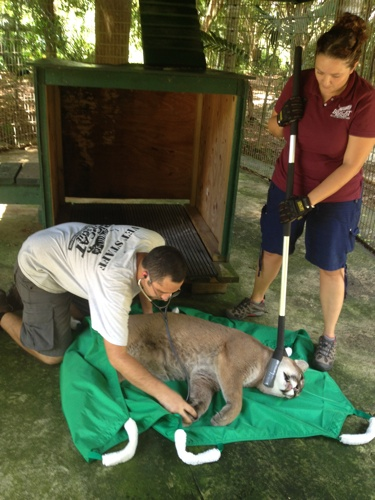 Reise-Cougar-Rescue-WH-082