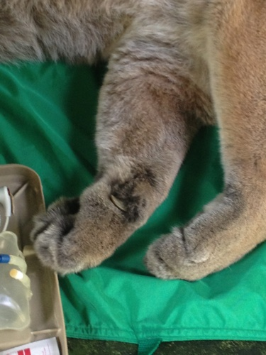 Reise-Cougar-Rescue-WH-087