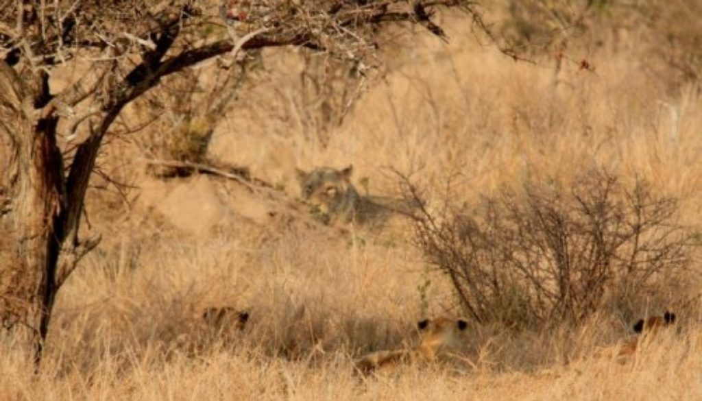 Seven Lions and Cubs in Africa