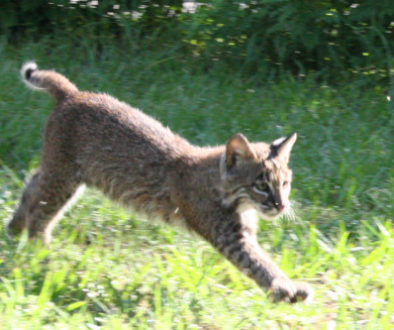 Will the bobcat