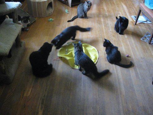 Cat-DRDanyaLinehan-CatsMeowIMG_1985